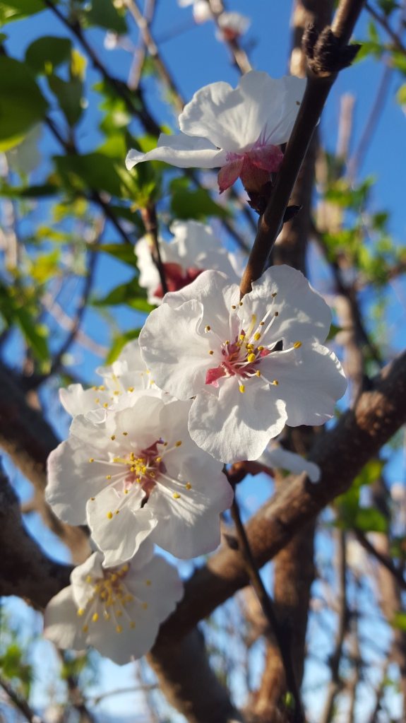 almond blossoms, white flowers